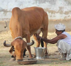 pure milk in our city, best milk in our hyderabad city,A2 milk in hyderabad,healthy milk,pure farm fresh milk,India's favourite health food, spoonful of ghee,ghee reduces the glycaemic index,finest breed of Desi Gir Cow's milk,best buttermilk in hyderabad,pure desi a2 buttermilk,best yogurt in hyderabad, a2 yogurt, pure yogurt, farm fresh a2 milk yogurt,ghee that is use for weight loss, ghee which has medicinal and ayurvedic properties, pure and farm fresh vedic ghee,farm fresh a2 milk, a2 milk for lactose intolerant people,which milk is easily digestable,pure milk,good milk for lactose intolerant people,A2 milk in hyderabad,pure a2 milk for kids, pure A2 milk near me, A2 milk, A2 MILK DAIRY FARMS,A2 milk in india, A2 milk  where to buy, Bos indicus, BOS INDICUS SPECIES, DESI COW, DESI COW A2 MILK, DESI COW A2 MILK IN INDIA, DESI COW MILK NEAR ME, DESI COW MILK ONLINE, DESI COW MILK PRODUCTS, FREE GRAZING, HF COW MILK, NANDI ORGANIC SITE, NANDI ORGANIC STORE, RAW DESI COW MILK, TDM, TEAM DESI MILK,TRUELY FOOD IS MEDICINE, Buy A2 ghee online,buy pure ghee for kids,best ghee for pregnant ladies,Good quality a2 milk,best a2 milk at online,number one a2 milk in hyderabad,bilano method ghee in hyderabad,best quality ghee in hyderabad,best milk for children,best A2 ghee in hyderabad for kids,food that increase immunity,best milk which have high nutritional values, A2 ghee, pure desi milk, where can i buy pure desi milk, shuddha desi milk, shuddha desi milk in hyderabad, want pure ghee for kids, desi gay ka dhoodh, aavu palu, best a2 milk 2019,pure bilano method ghee,unprocessed milk,vedic ghee in hyderabad,want to buy A2 milk online,best quality milk online,super good food for kids,best milk for diabetes,best milk for heart patients,best milk for adults,how to reduce bad cholesterol,how to gain good cholesterol,best indian vedic ghee,aavu neyee,ghai ka ghee,which milk is good for acidity,best milk for inflammation,more nutritional value milk in market,great nutritional mi